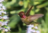 Hummingbirds closed-up